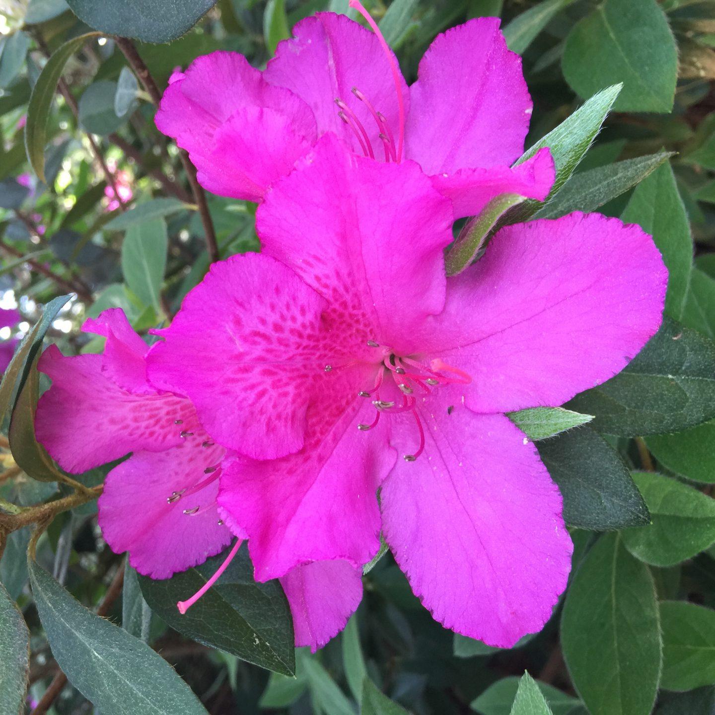 Away From Keyboard: WRAL Azalea Gardens